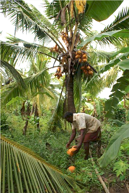Sourcing Organic Coconut