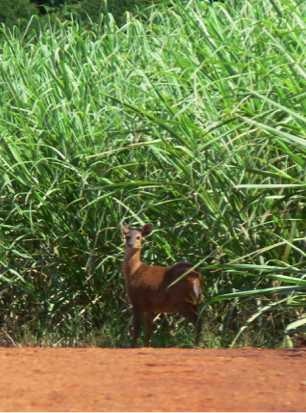 Deer in the Sugar Cane