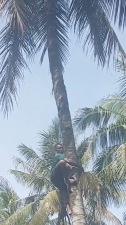 Coconut tree w climber